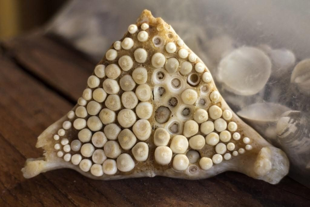 the teeth of a freshwater drum